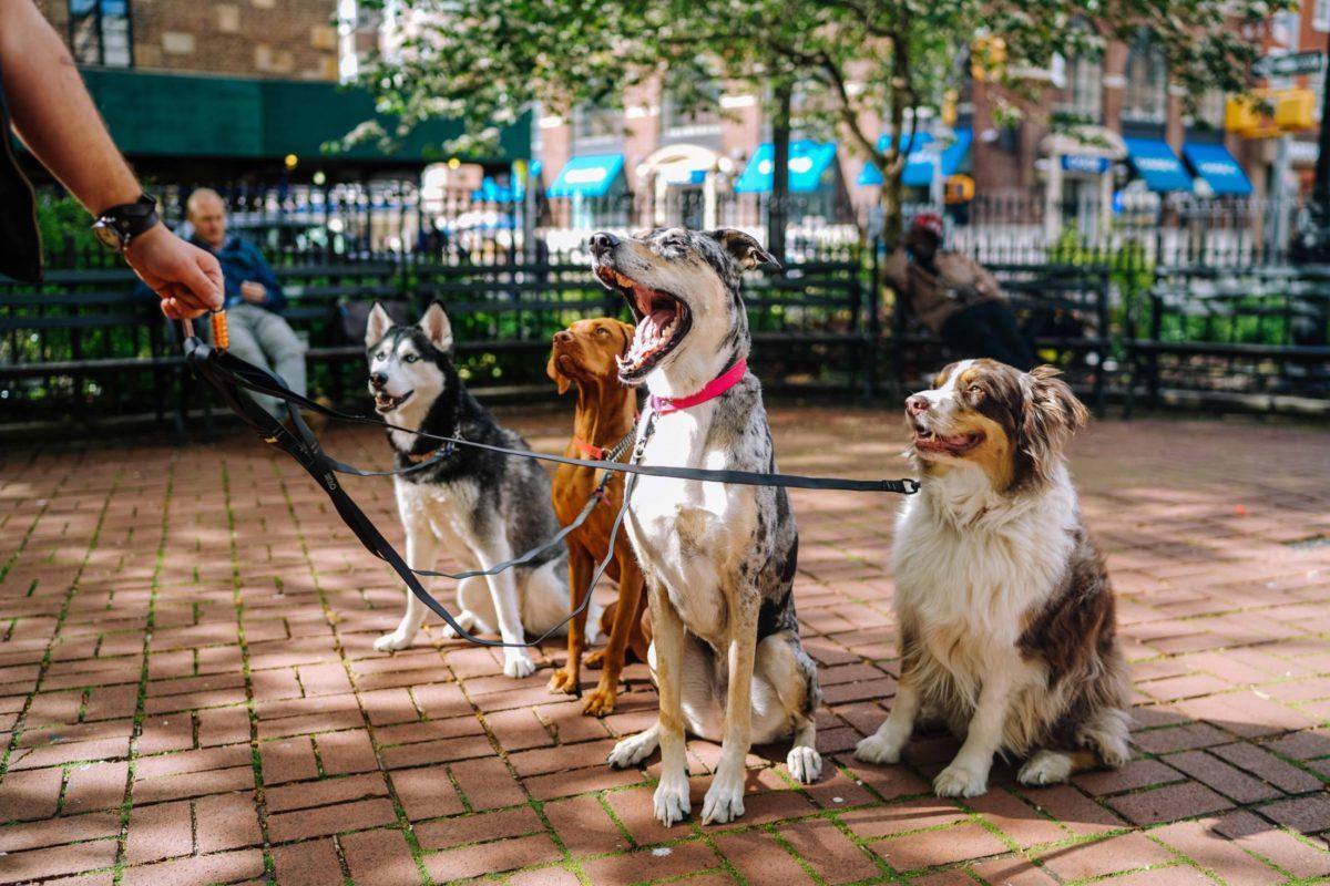 passeio com cachorro: dog waker com vários na coleira na calçada