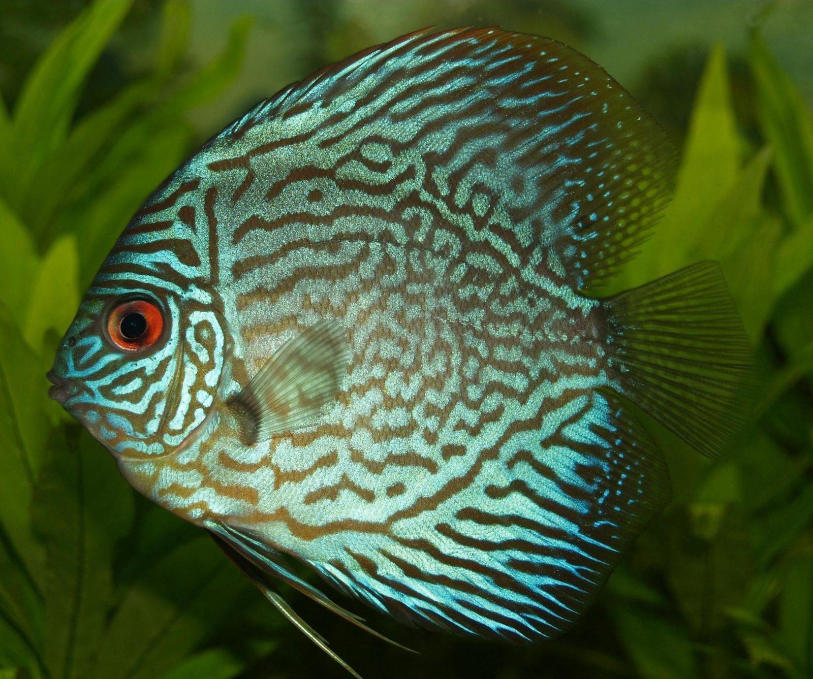 Nem todos os peixes ornamentais são considerados um peixe feio.