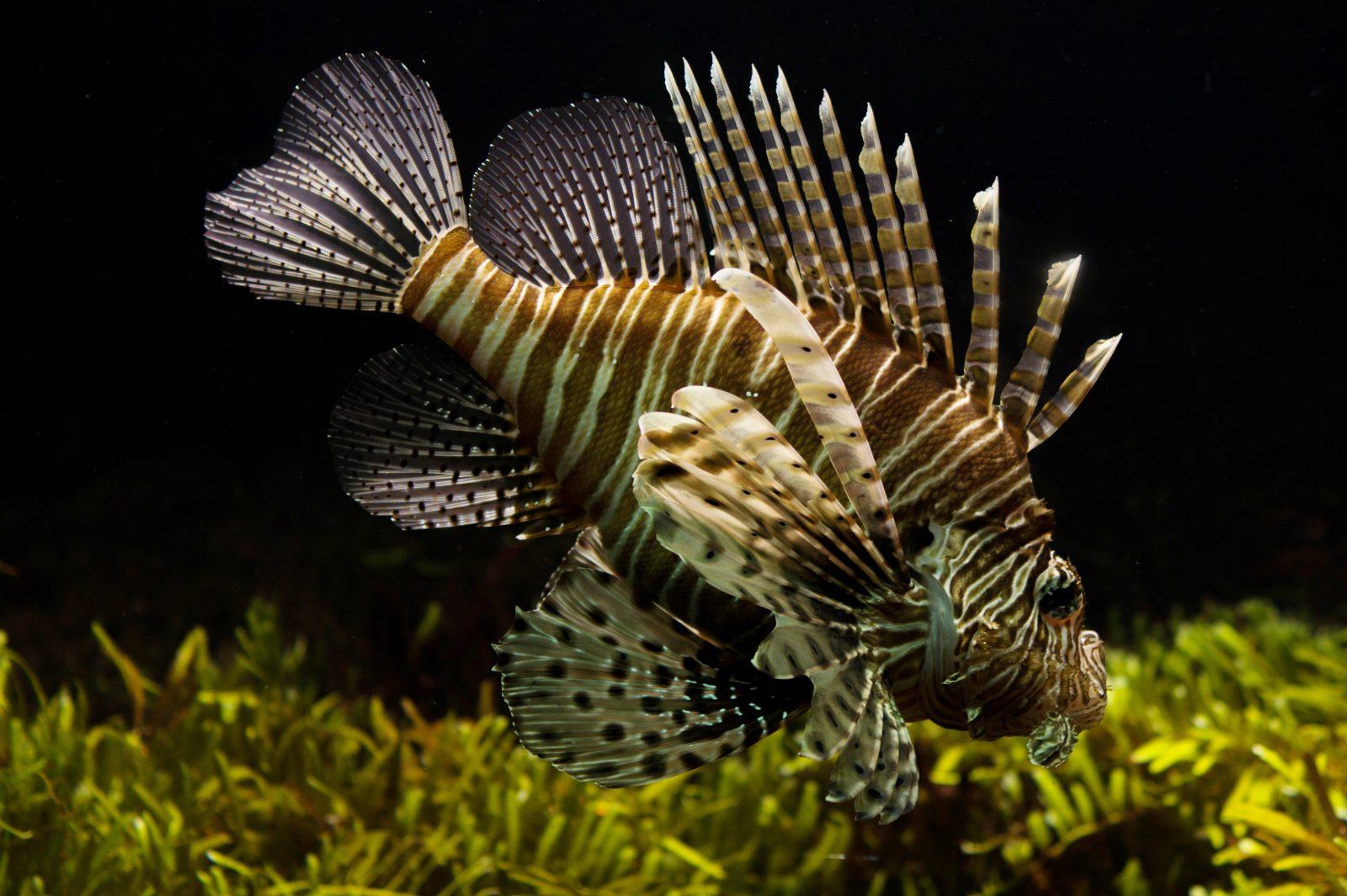 Peixe feios: os hábitos alimentares do peixe ornamental pode variar bastante.