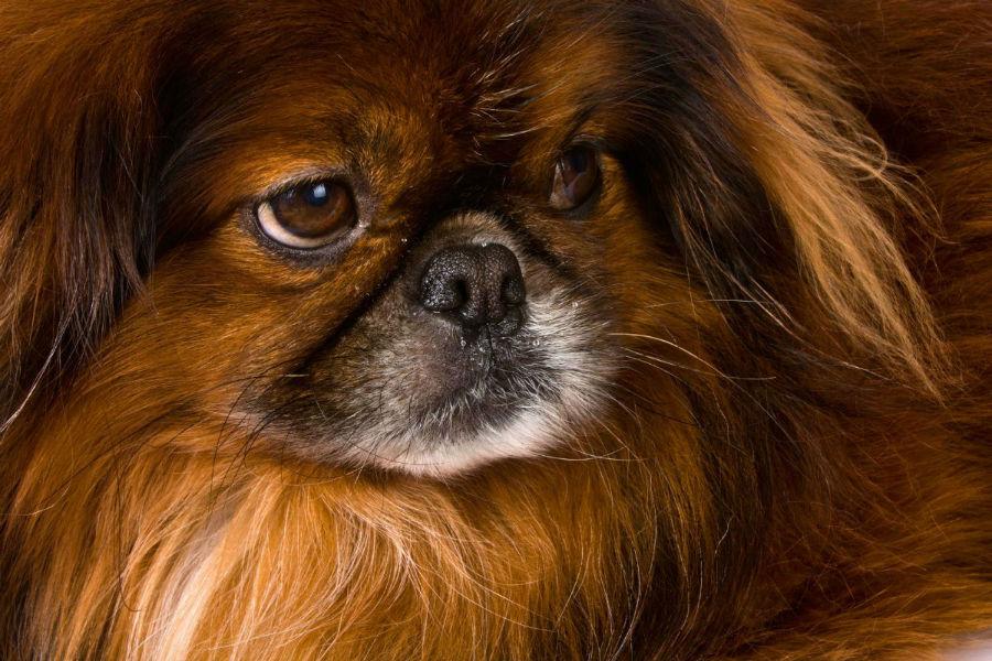 cachorro-pequines-aparencia