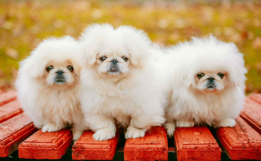 cachorro-pequines-intro
