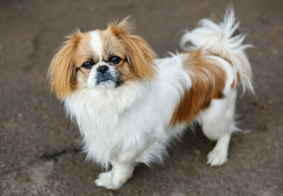 cachorro-pequines-saude