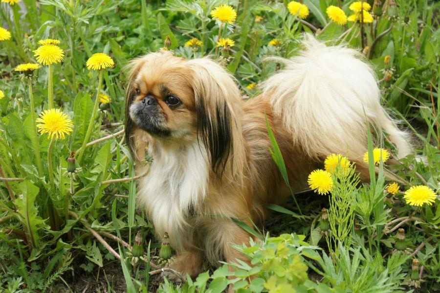 cachorro-pequines-temperamento