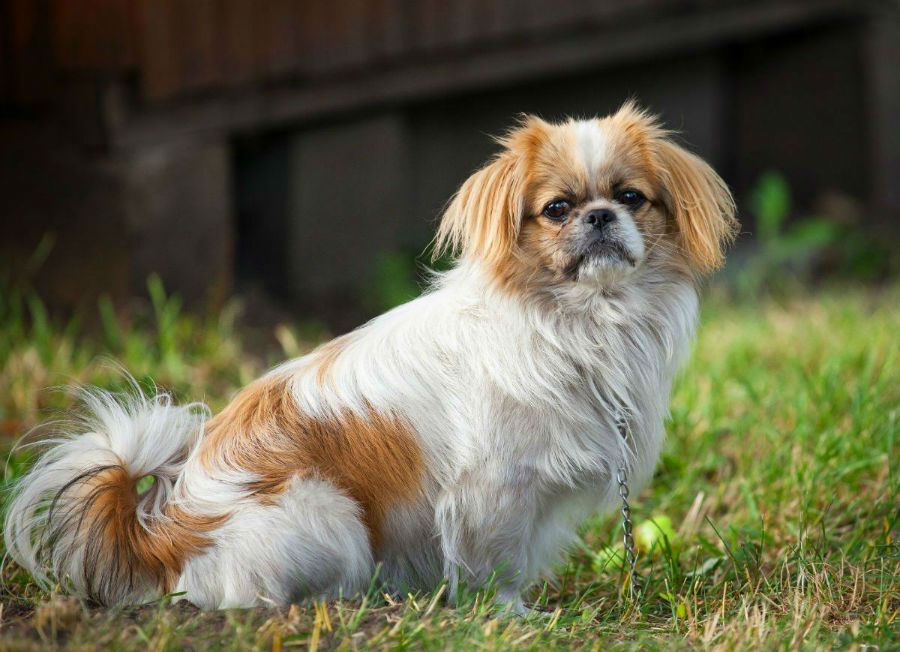 cachorro-pequines-treinamento