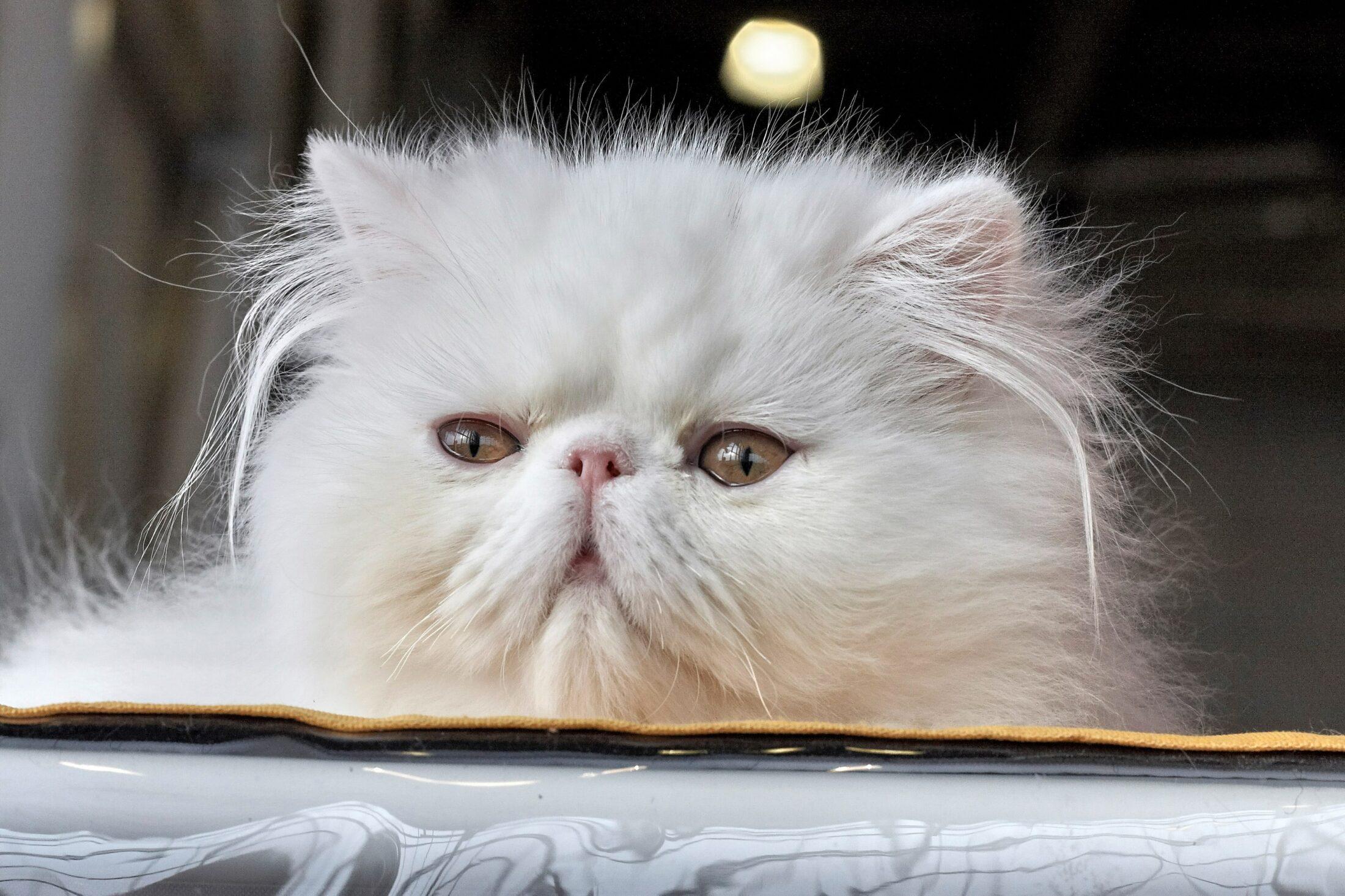 gatos de pelos longos persa