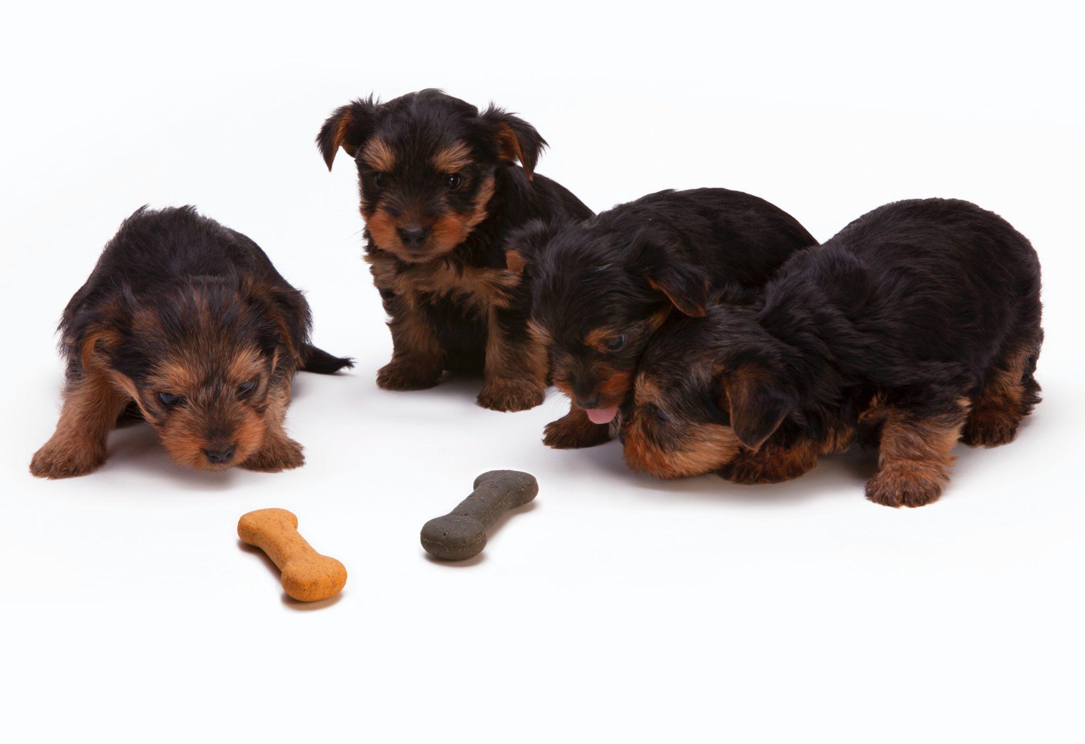 filhotes comendo petisco para cachorro