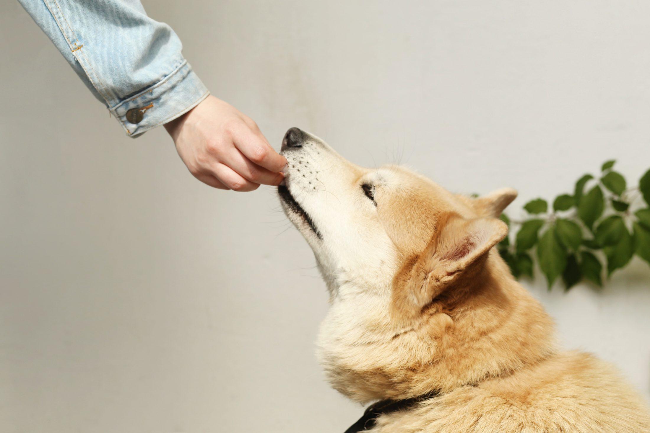 tutor dando petisco para cachorro na boca do animal