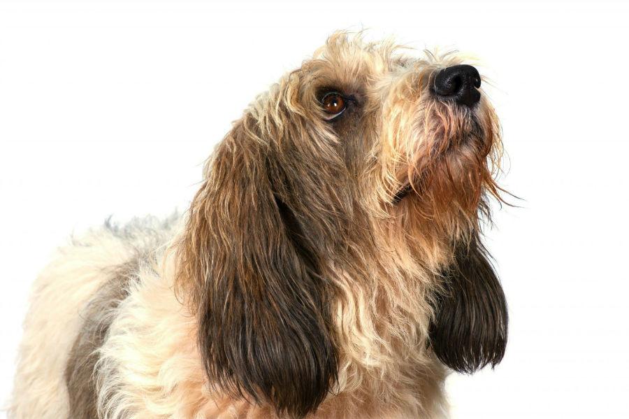 Cachorro pequeno: Cão Petit Basset Griffon Vendeen