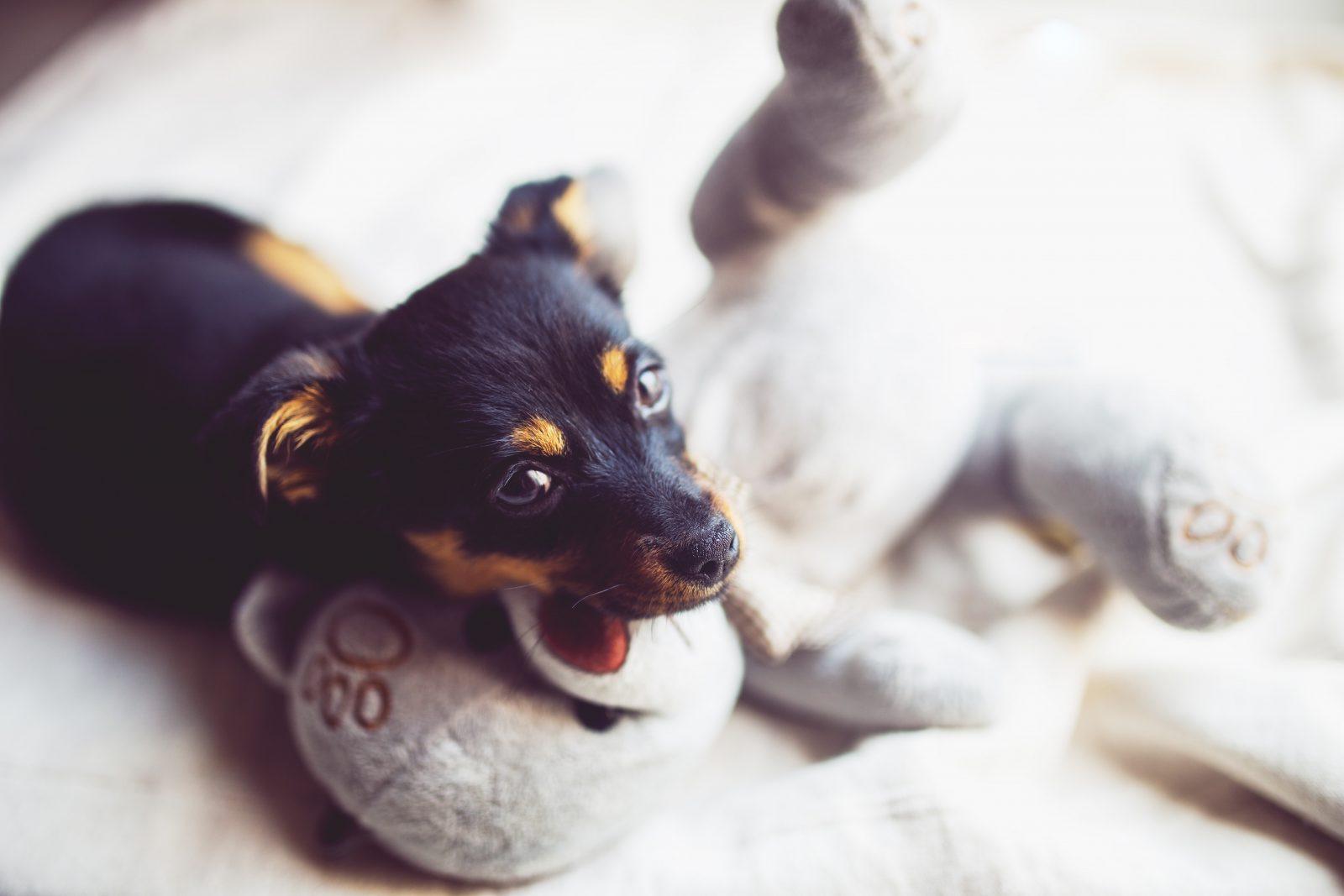 Cachorro latindo: Pinscher alemão mordendo ursinho de pelúcia para cachorro.