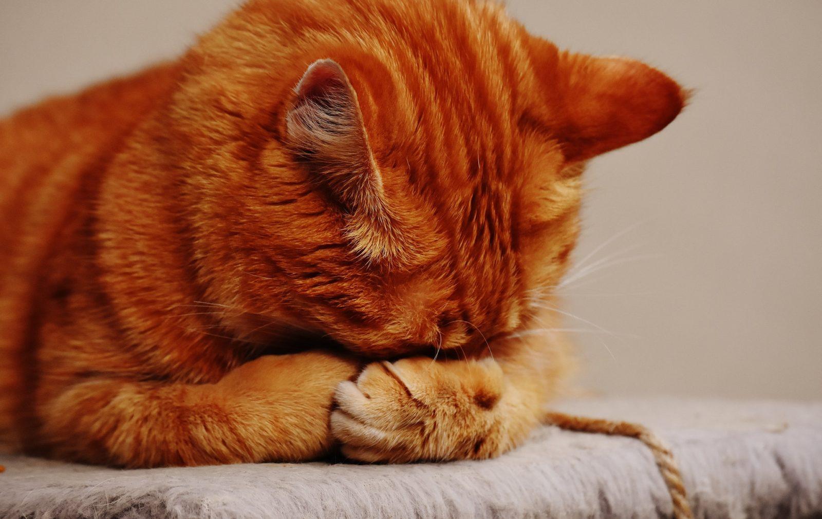 gatinho escondendo o rosto por não ter palno de saúde de cachorro