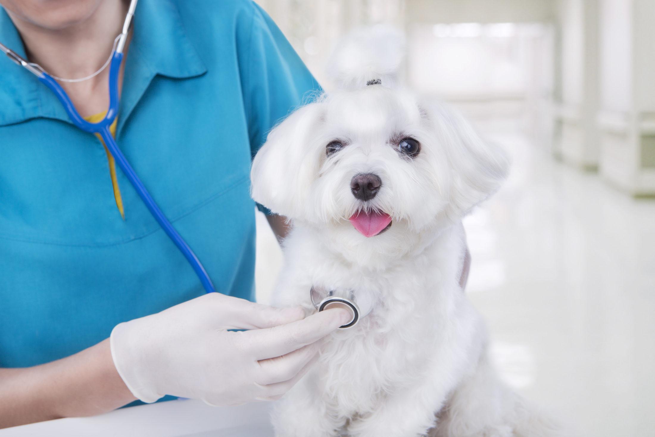 cachorrinho com plano de saúde petsendo examinado em consultório veterinário