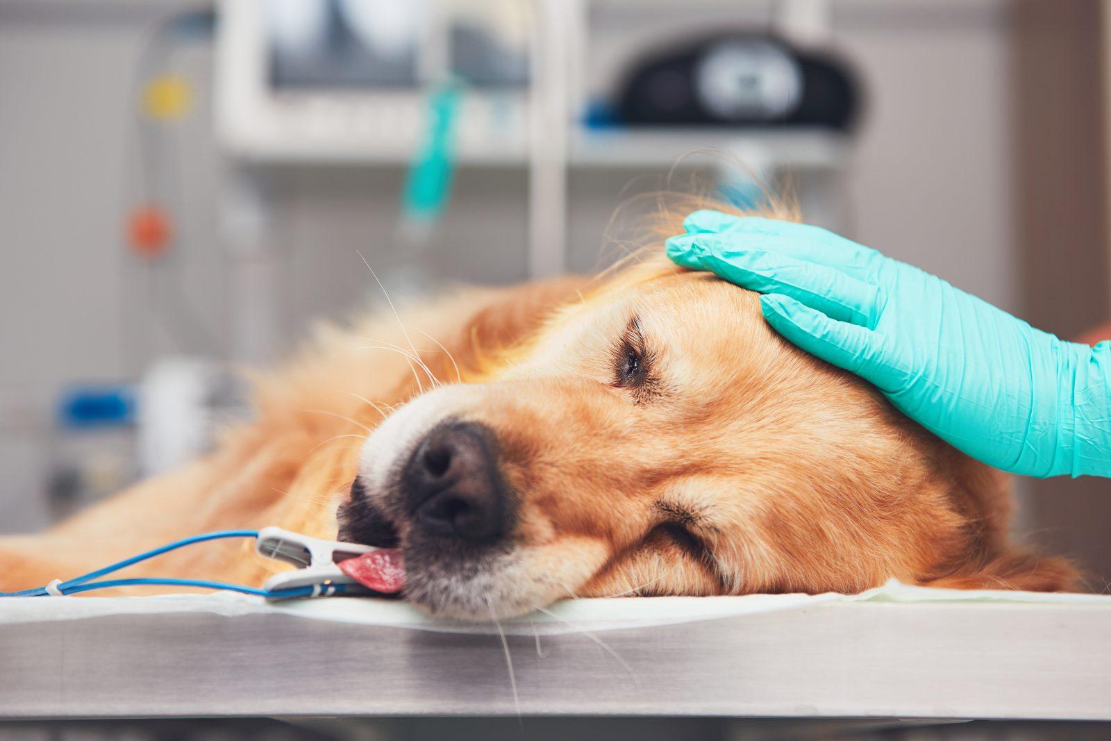 Plano de saúde para cachorro: Golden retriever na mesa de cirurgia no veterinário recebendo sedação.