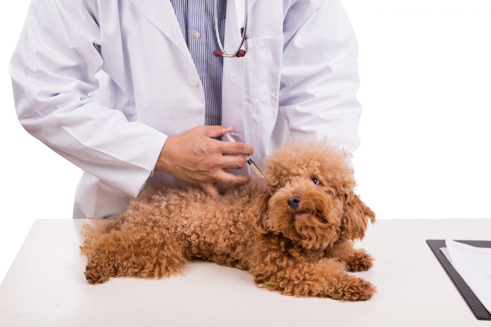 Plano de saúde para cachorro: Poodle caramelo tomando vacina no veterinário.