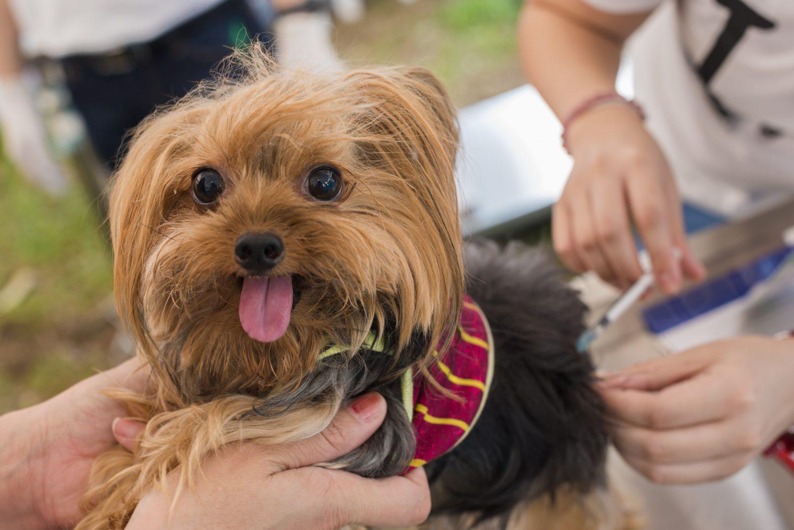 Plano de saúde para cachorro: Yorkshire tomando vacina no veterinário.