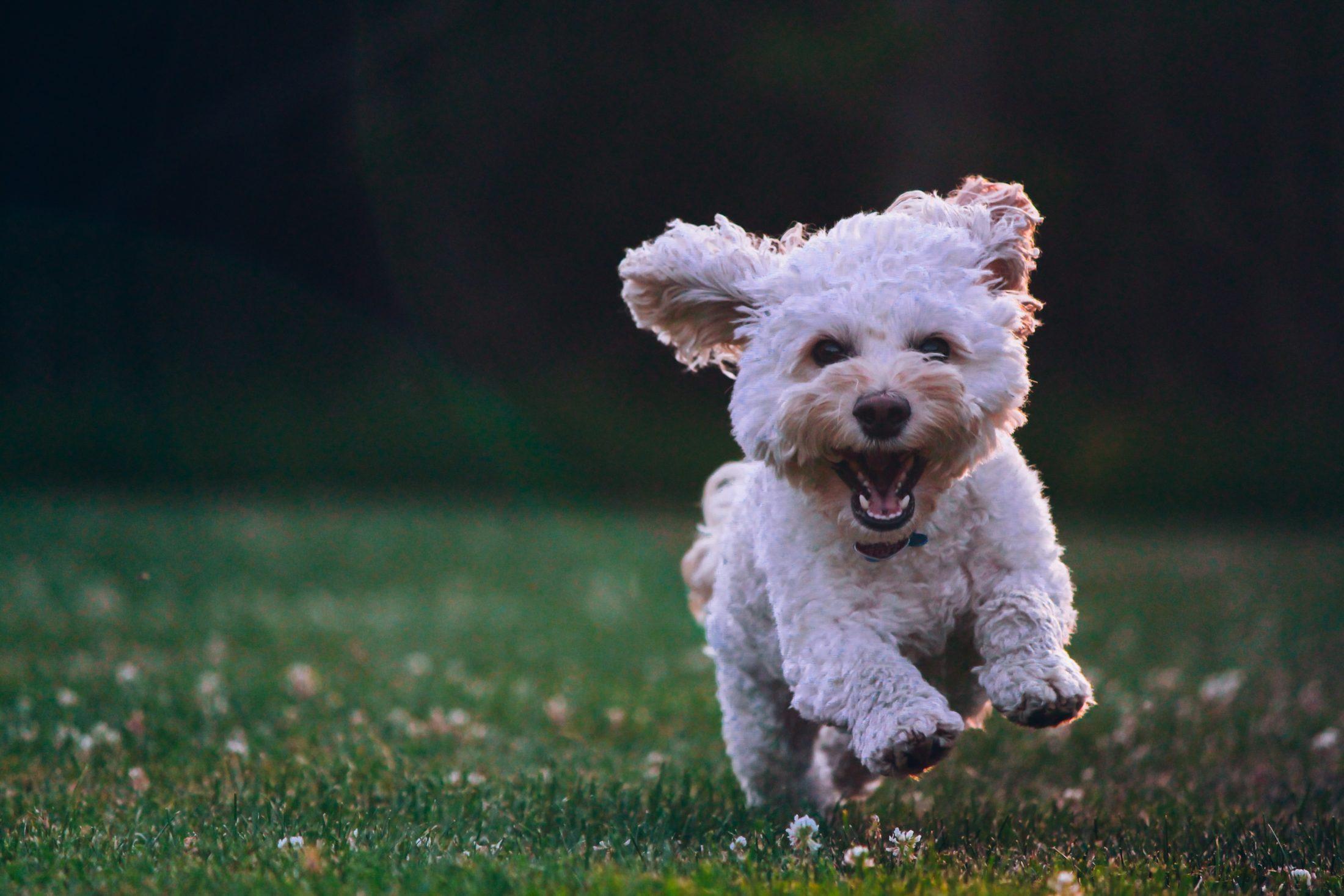 poodle toy correndo na grama