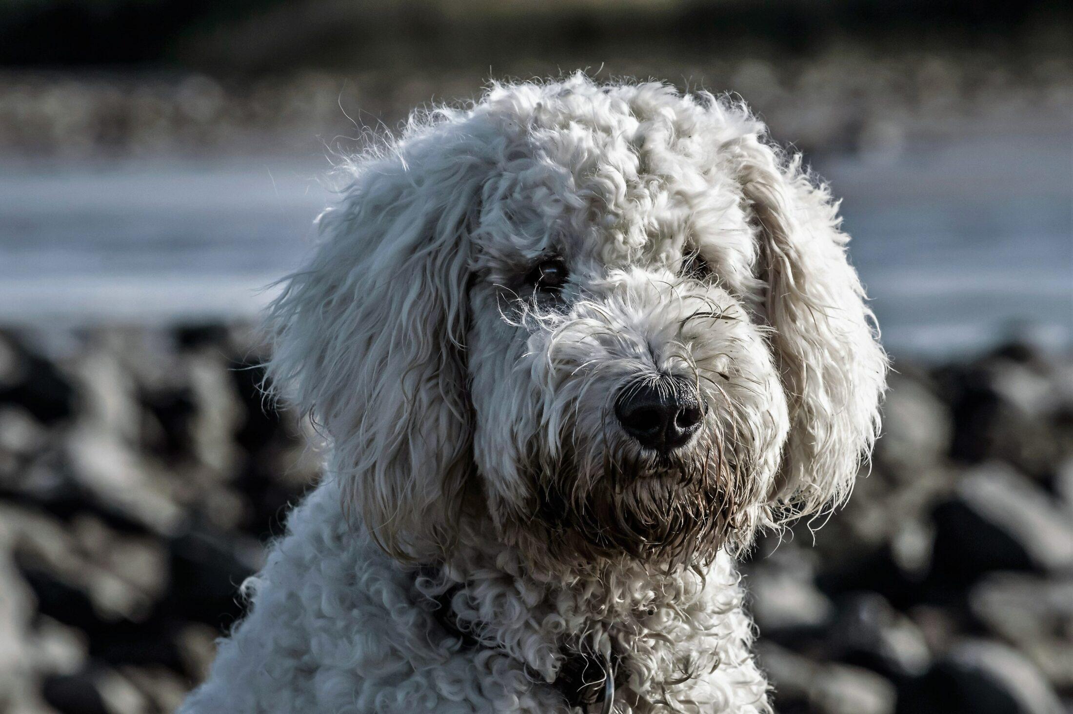 cachorro porte médio: poodle