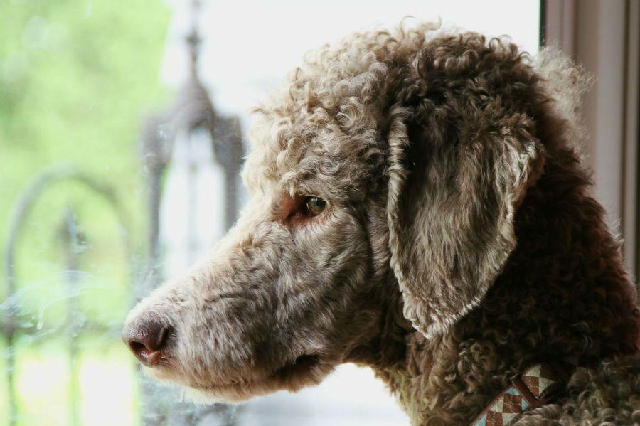 poodle-temperament