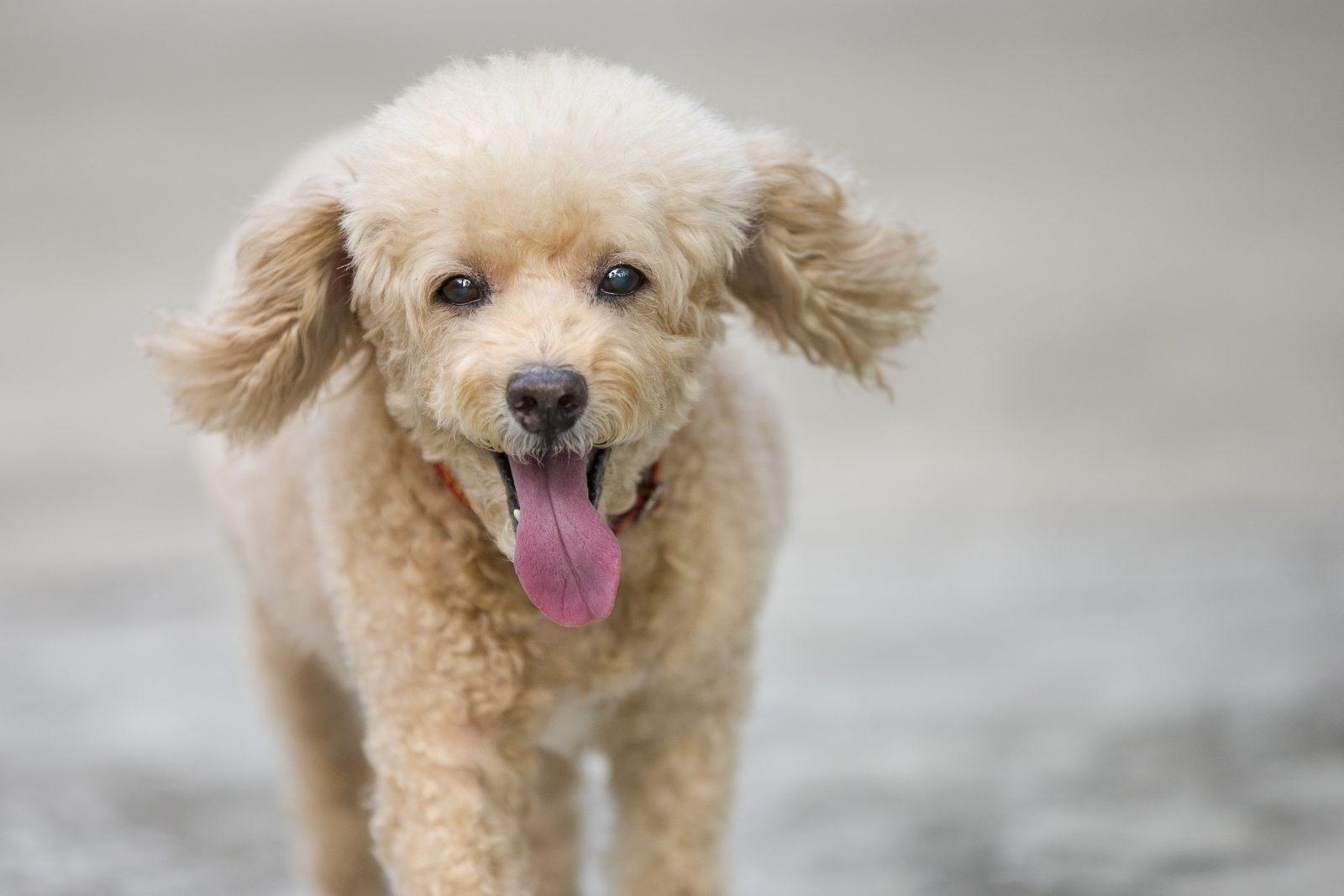 Raças de cachorro hipoalergênicas: Poodle toy