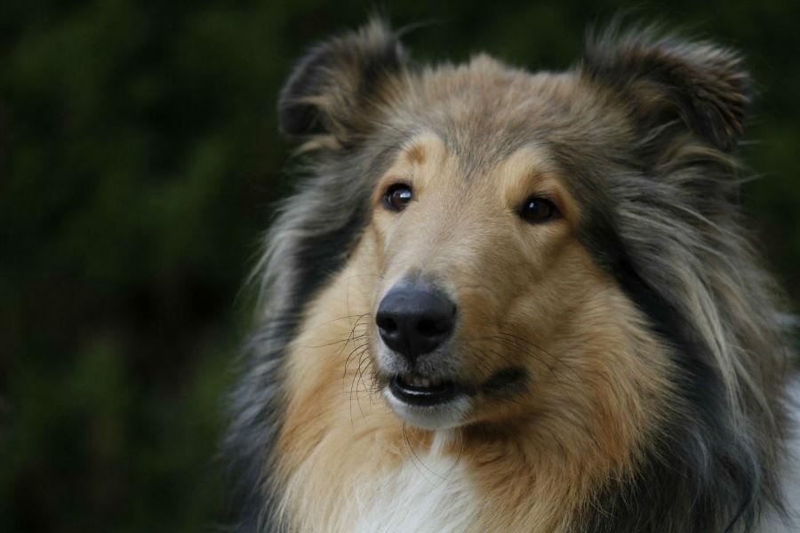 popularidade-cachorros3