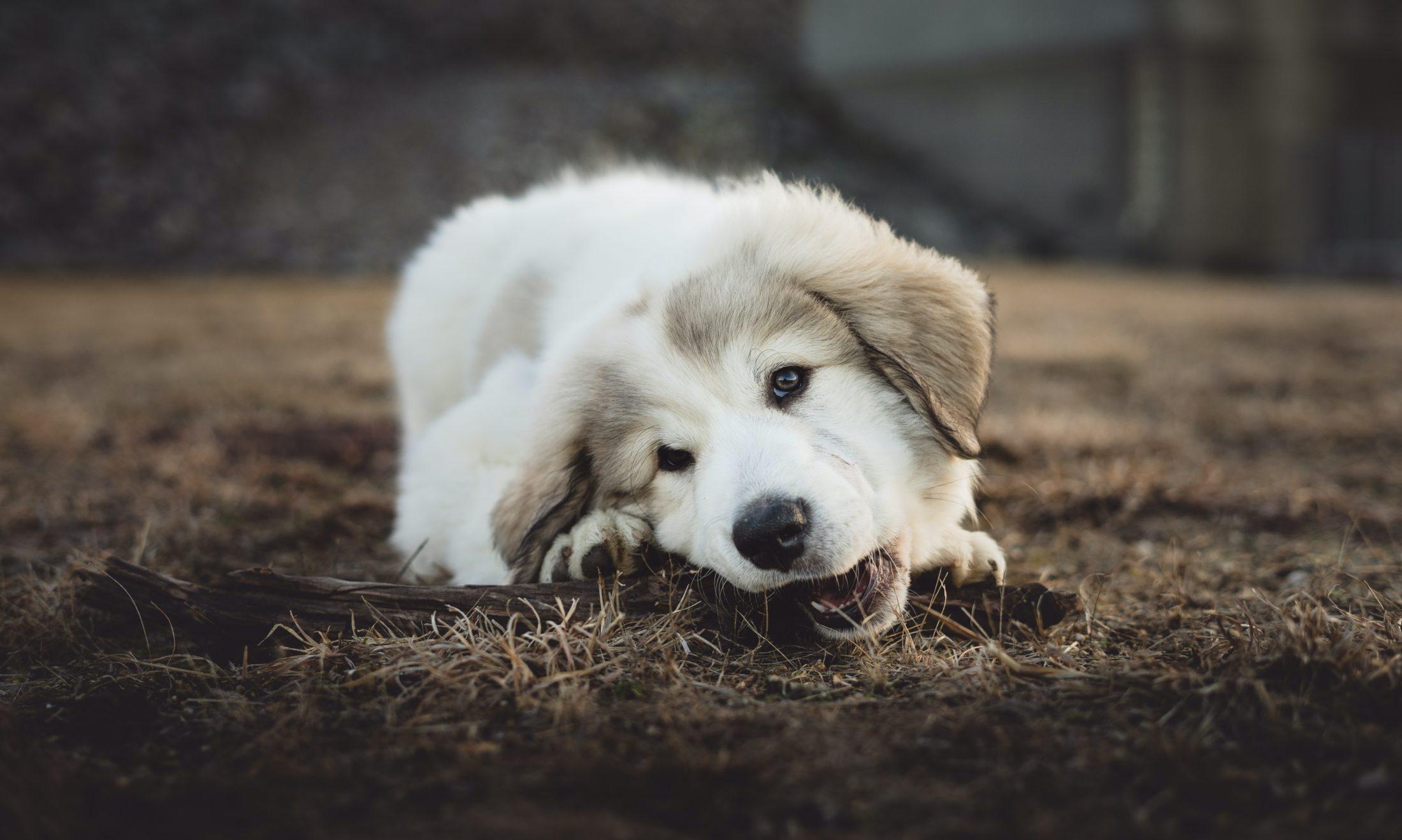 O instinto da ancestralidade com os lobos pode explicar porque cachorro come grama