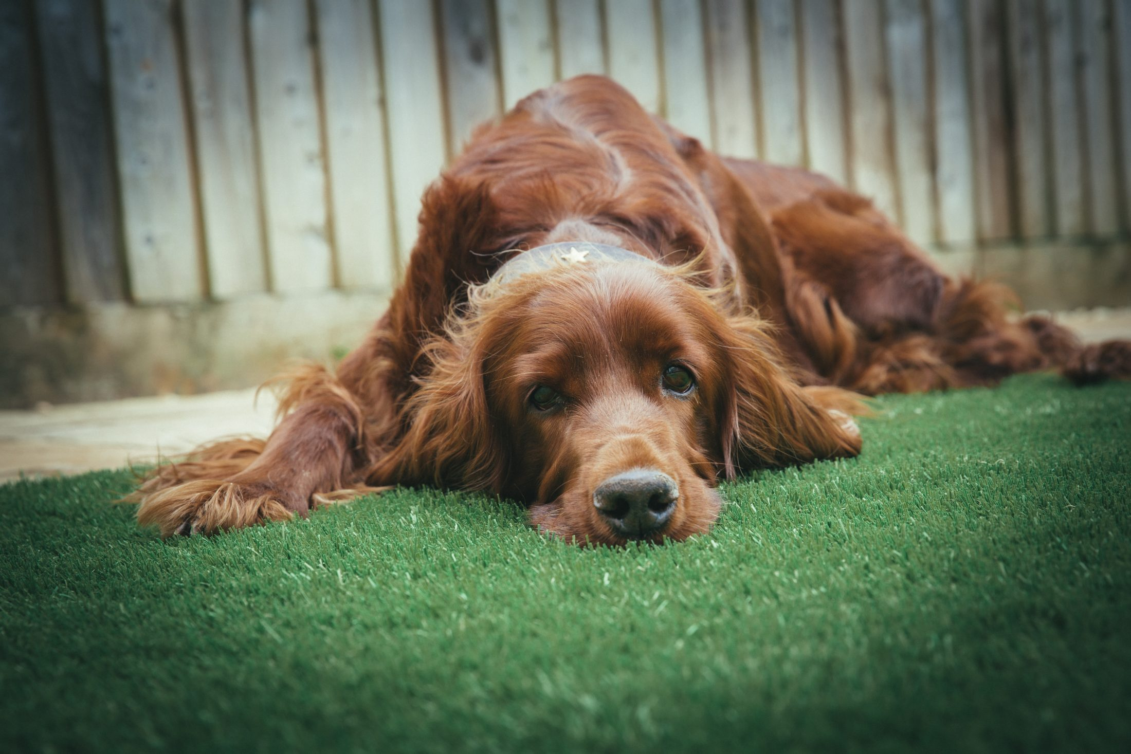 setter deitado no gramado