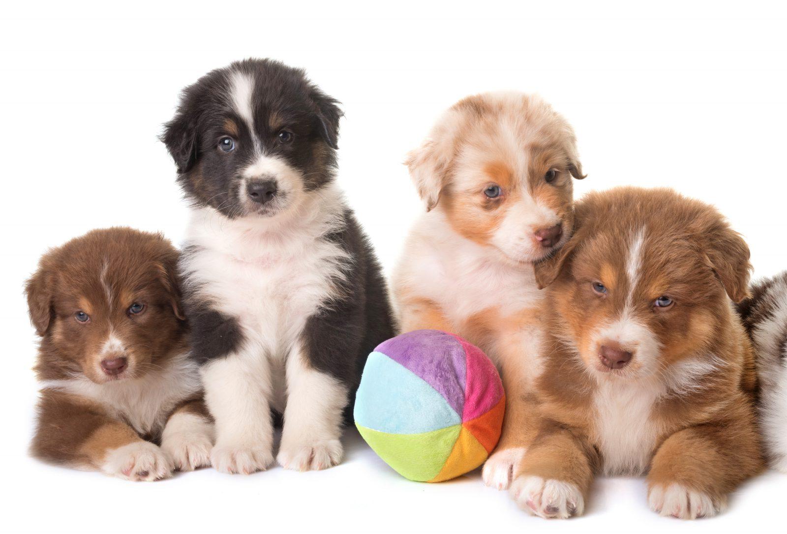 Preço de cachorro: grupo de pastores australianos filhotes