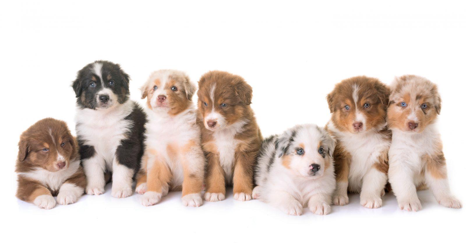 Preço de cachorro: grupo de filhotes de pastores australianos