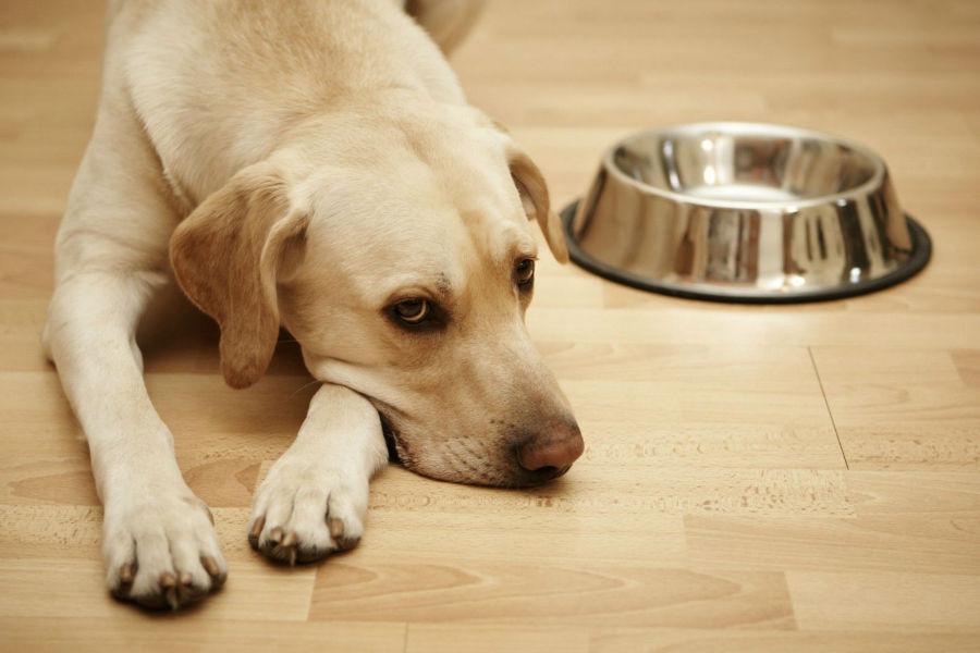 Doenças de cachorro: Labrador com falta de apetite causada por alergia alimentar