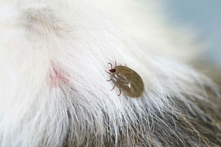 Doenças de cachorro: Cachorro com carrapato adulto em seus pêlos