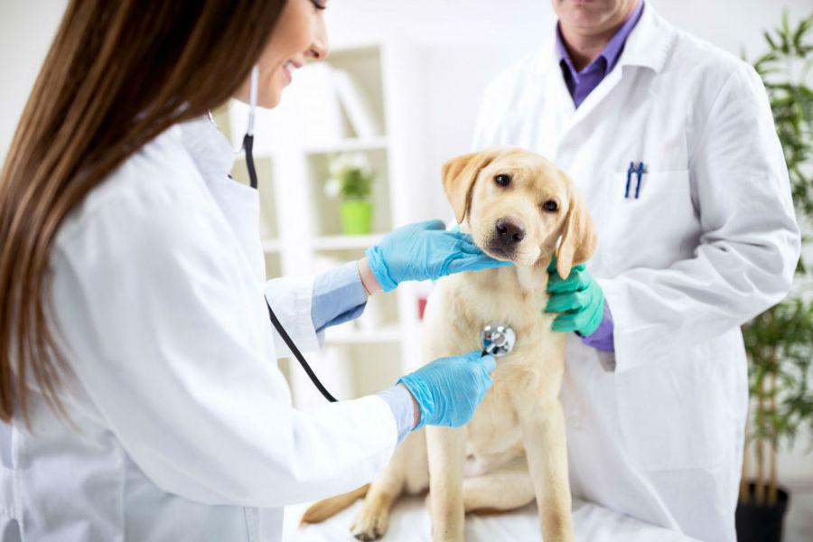 Doenças de cachorro: Filhote de Labrador amarelo sendo examinado por seus veterinários