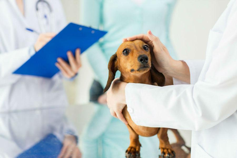 Doenças de cachorro: Daschund sendo examinado por veterinários