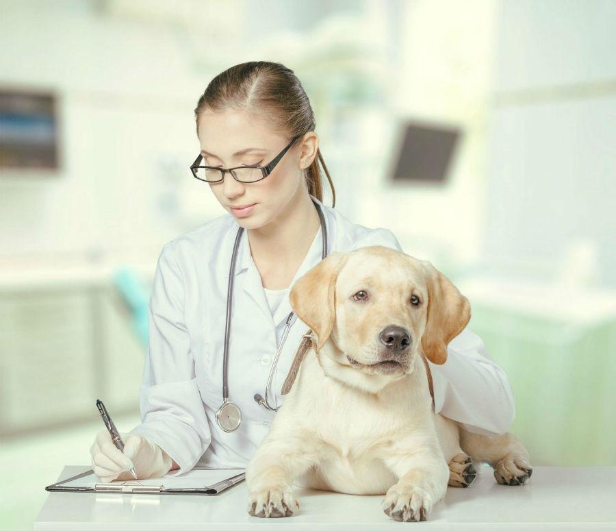 Doenças de cachorro: Labrador filhote sendo examinado por hepatite viral