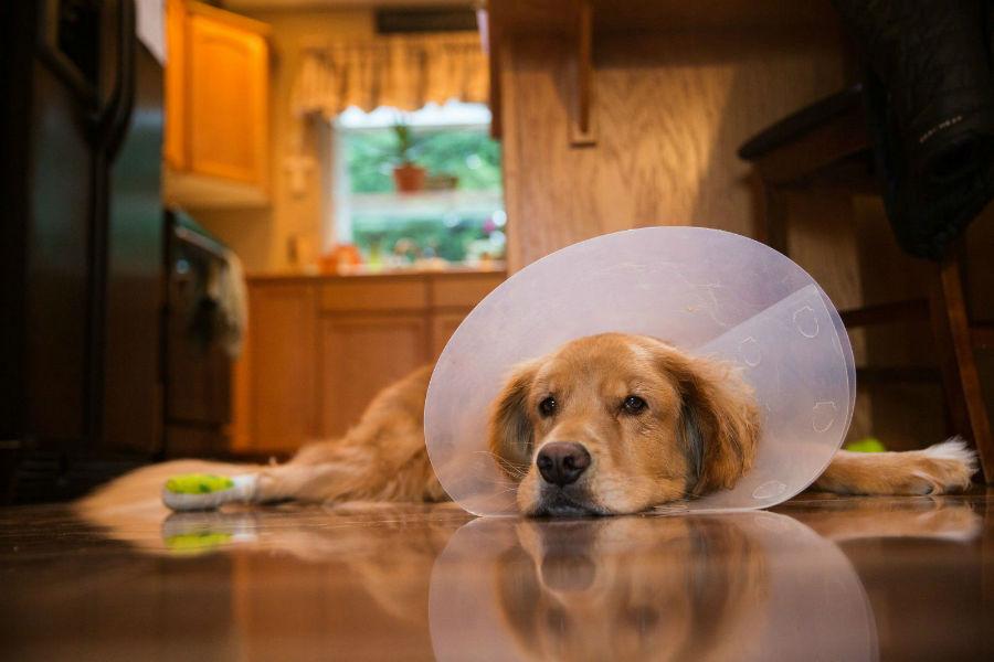 Doenças de cachorro: Golden retriever usando artifício na cabeça evitar de lamber áreas afetadas
