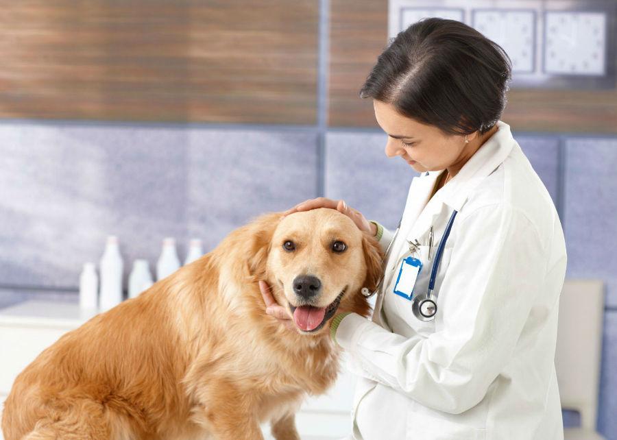 Doenças de cachorro: Golden retriever adulto sendo examinado pela sua veterinária