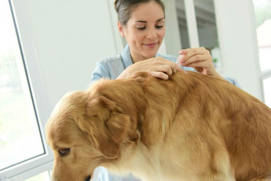 Doenças de cachorro: Golden retriever sendo vacinado contra parvovirus pelo seu veterinário