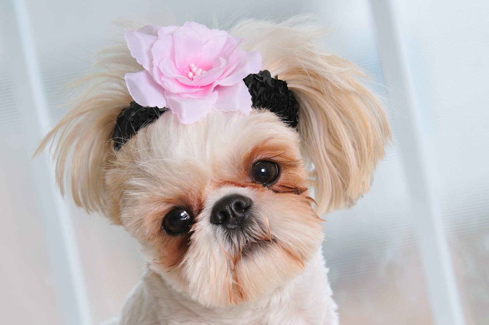 Produtos Pet: cadelinha com tiara de flores super fashion na cabeça.