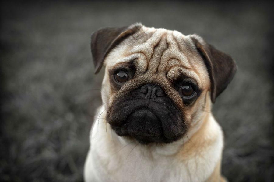cachorro-pug-aparencia