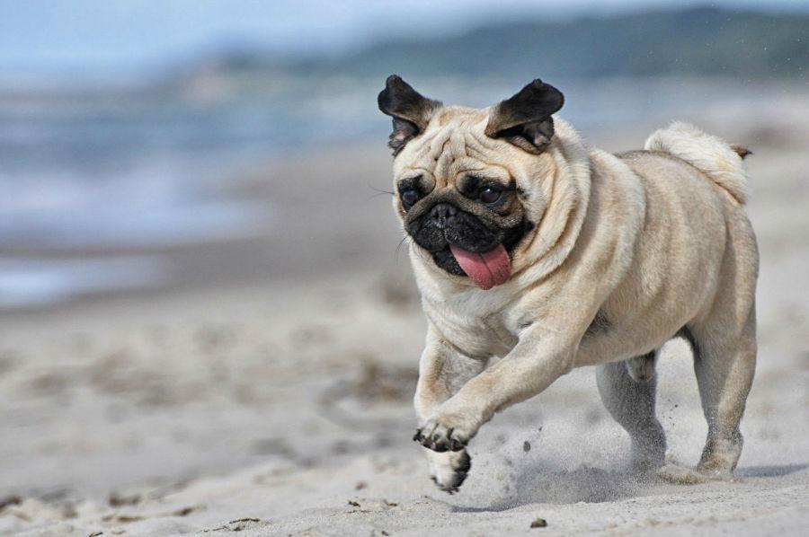 cachorro-pug-atividade