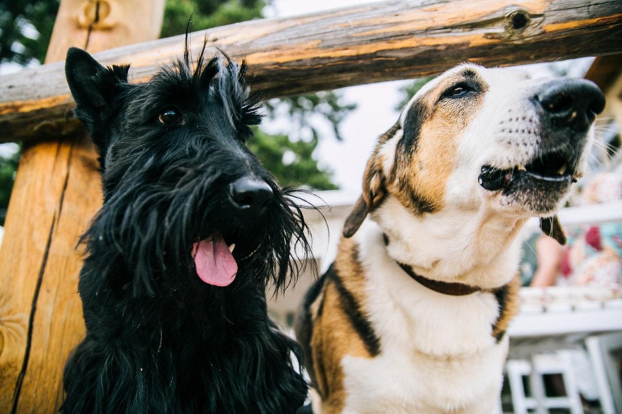 dois cachorros adultos juntos