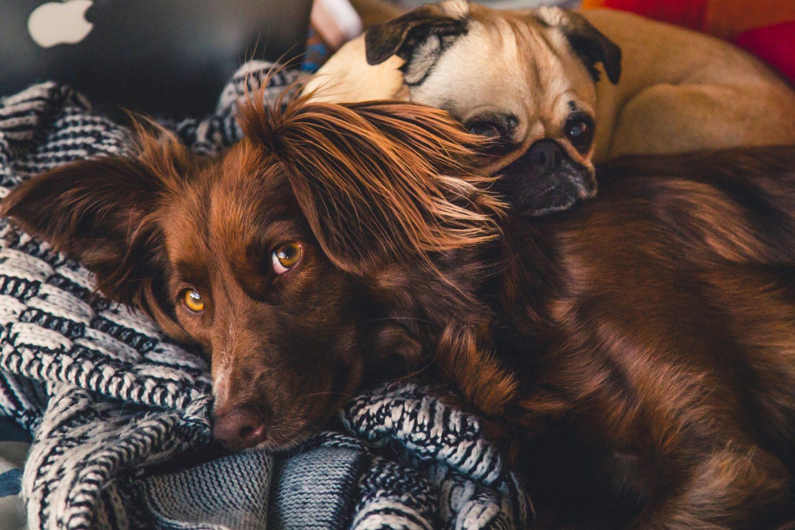 saber quanto custa um pet é importante: cachorros deitados juntos