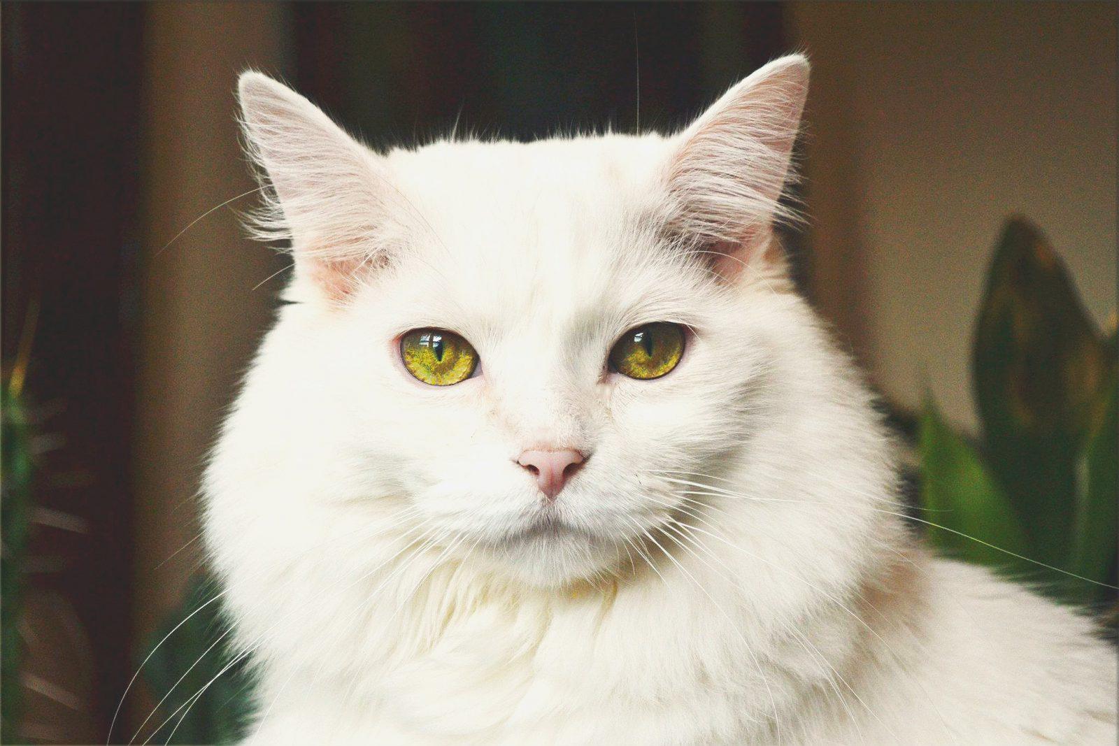 A castração influencia em quantos anos vive um gato.