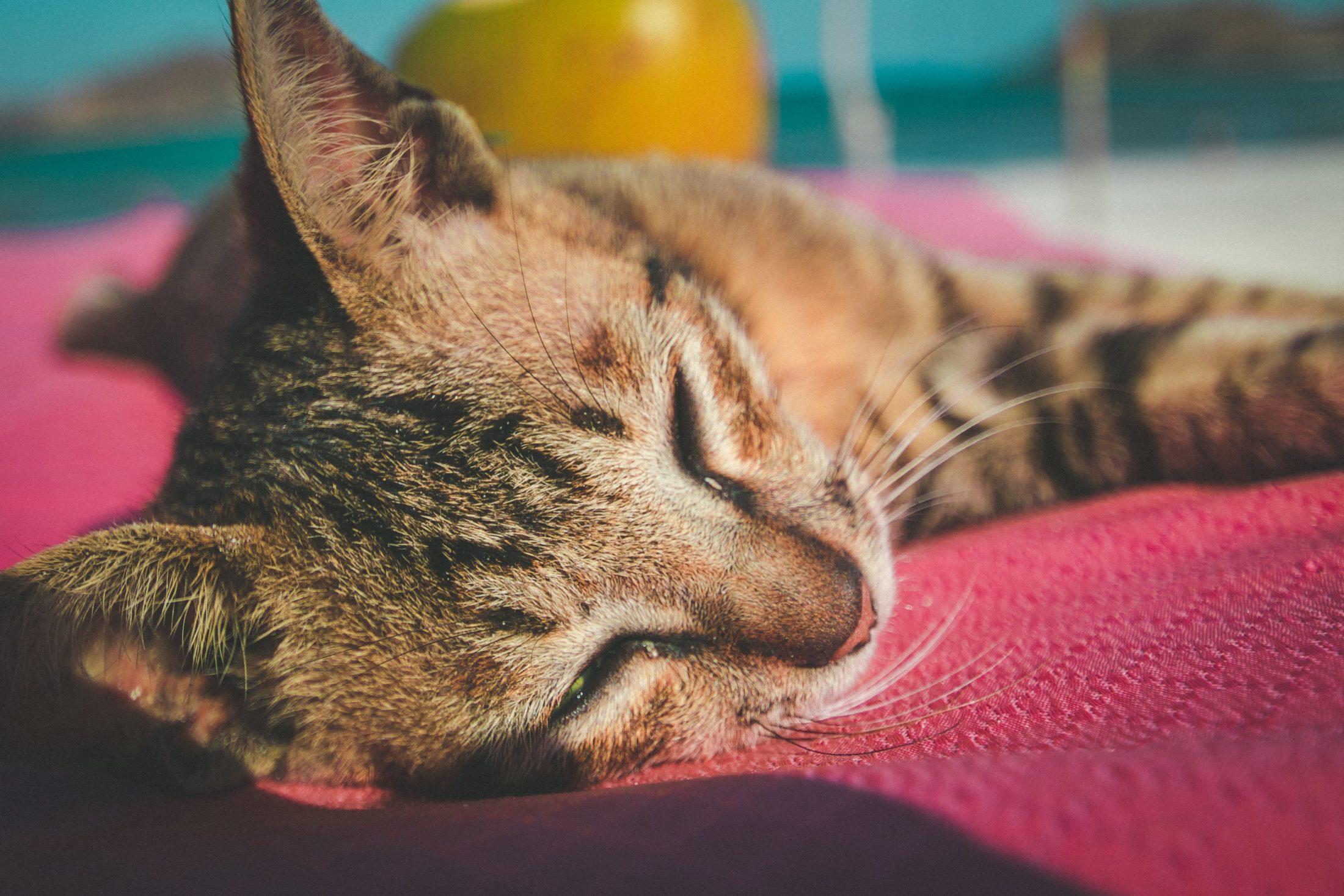 ração para gatos castrados é importante