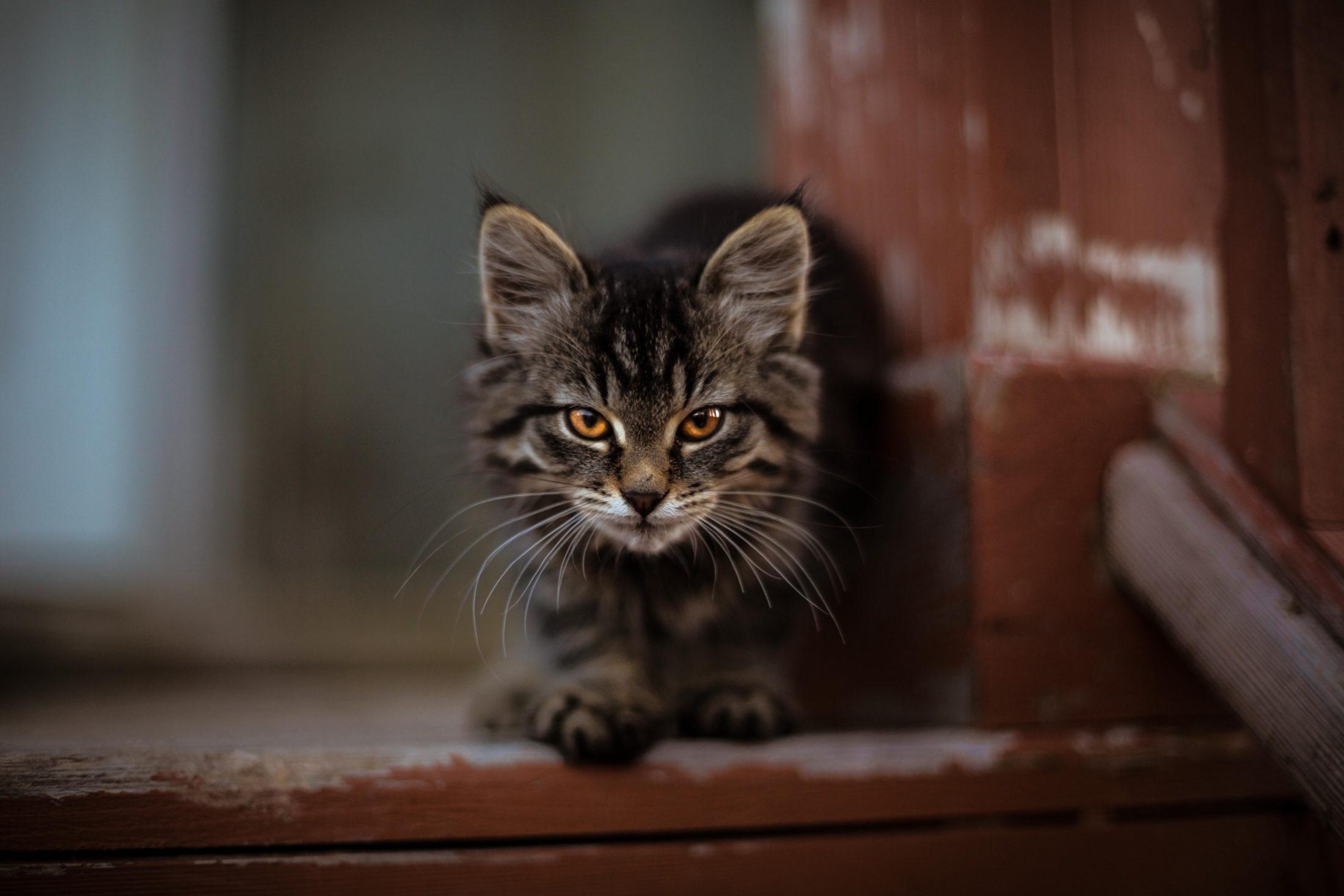 Para escolher a melhor ração para gatos castrados é preciso ficar atento a alguns fatores importantes.