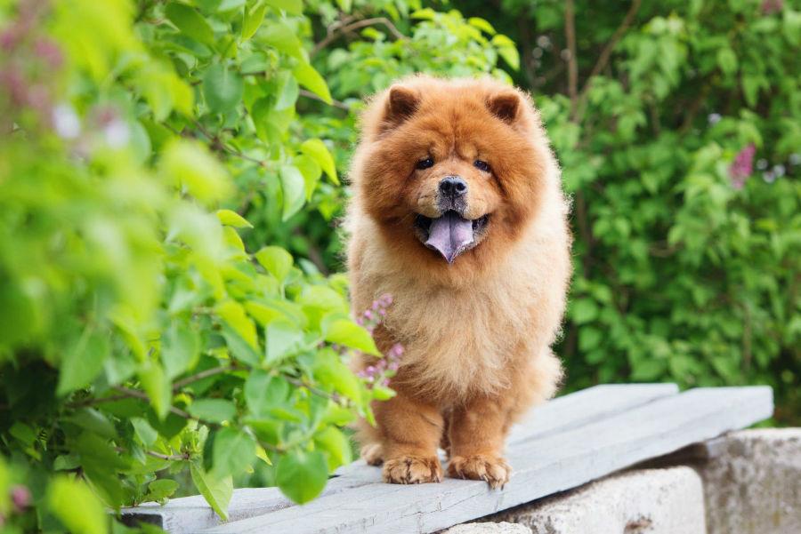 raca-cachorro-apartamento-chow