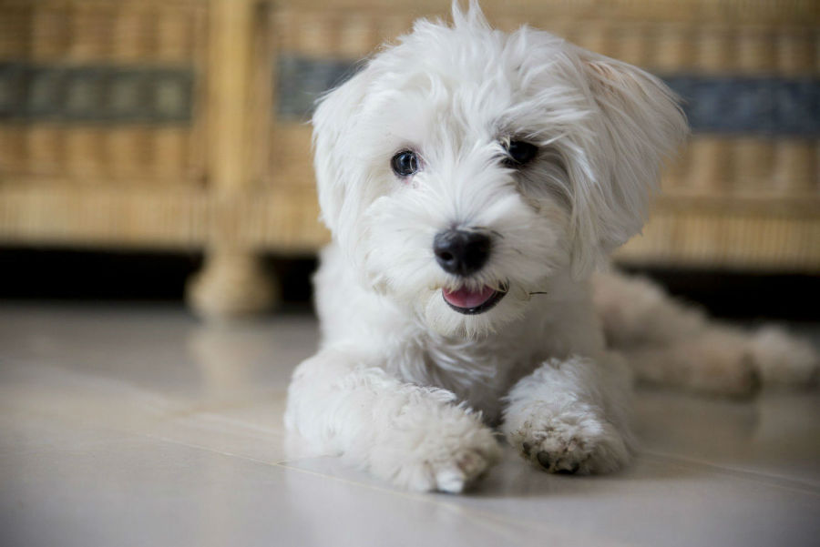 raca-cachorro-apartamento-maltes