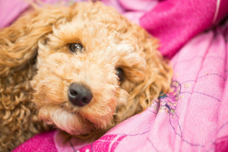raca-cachorro-apartamento-poodle