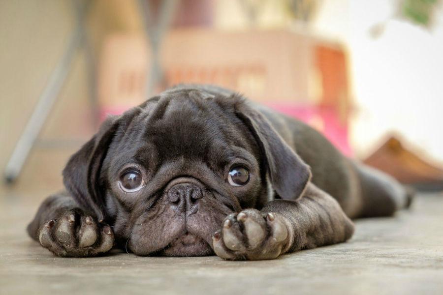raca-cachorro-apartamento-pug