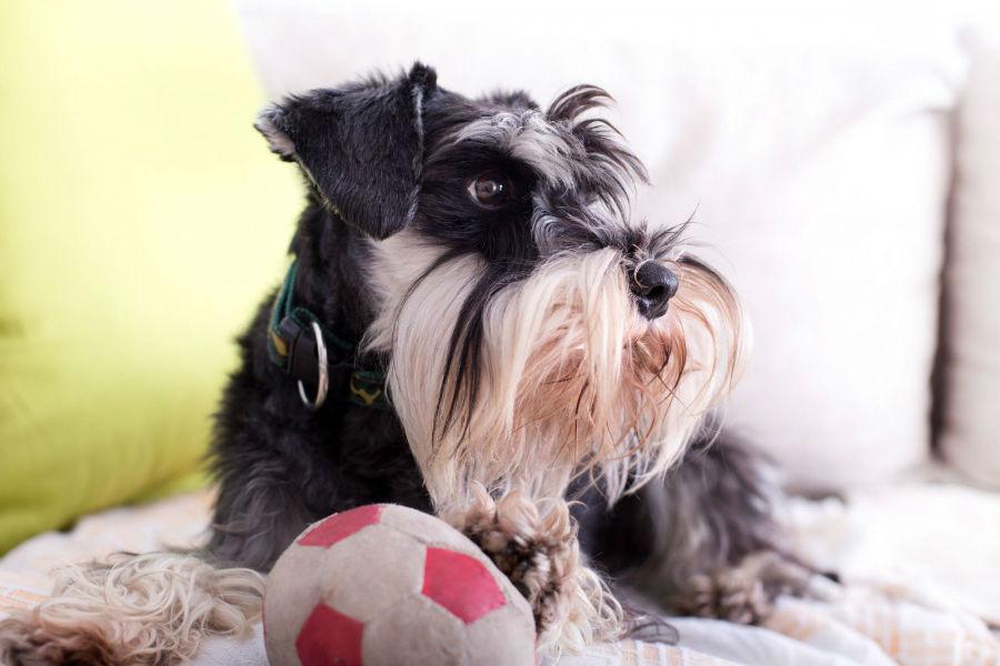 raca-cachorro-apartamento-schnauzer