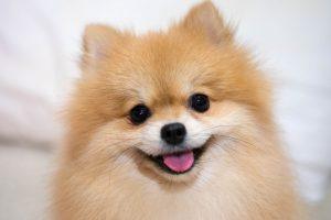 Cachorro latindo: Lulu da Pomerânia em close fofinho!