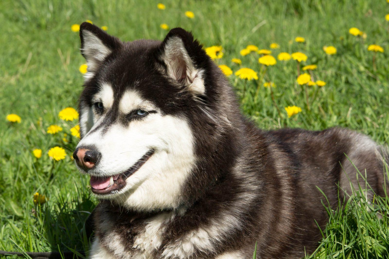 Cachorro latindo: Husky Siberiano deitado no gramado entre as flores.